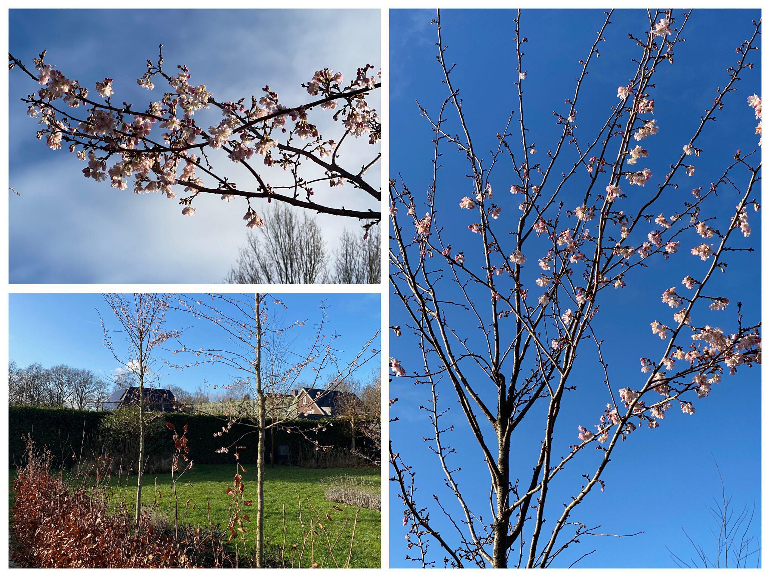 winter bloeiende bomen